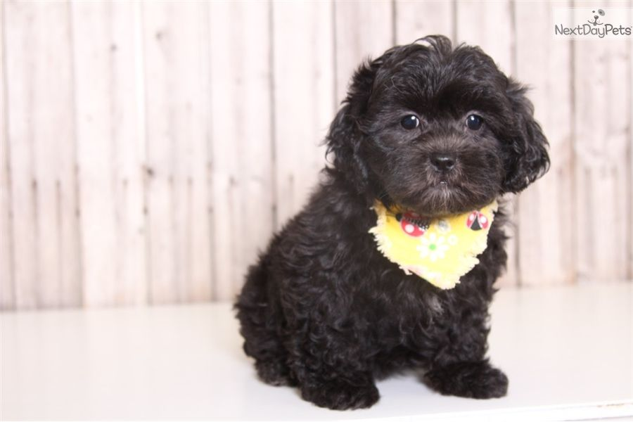 Buttercup Shih Poo Shihpoo Puppy For Sale Near Columbus Ohio