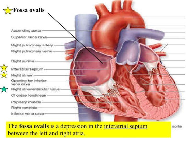 Heart Diagram Fossa Ovalis - Block And Schematic Diagrams •
