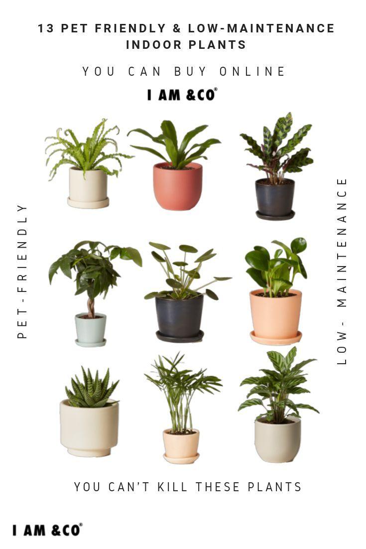 13 Pet Friendly Low Maintenance Indoor Plants That You Can Buy Online Easypla Low Maintenance Indoor Plants Indoor Plants Pet Friendly Plants