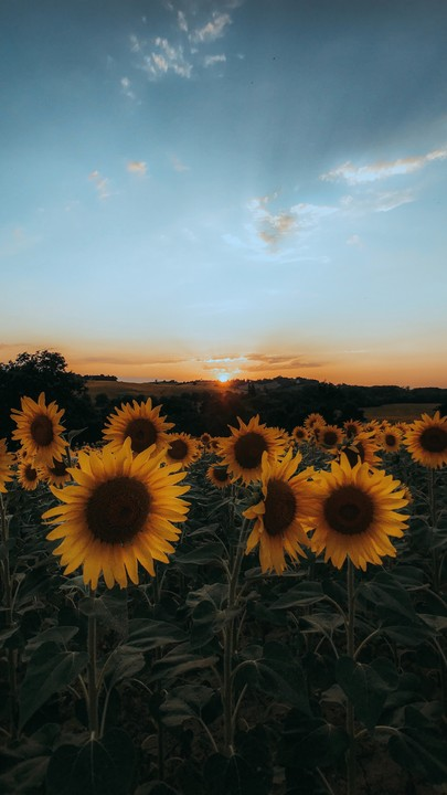 The Latest Iphone11 Iphone11 Pro Iphone 11 Pro Max Mobile Phone Hd Wallpapers Free Dow In 2020 Sunflower Iphone Wallpaper Sunflower Wallpaper Iphone Wallpaper Images