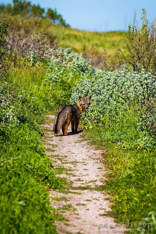 Island Fox At Scorpion Ranch Santa Cruz Island Channel