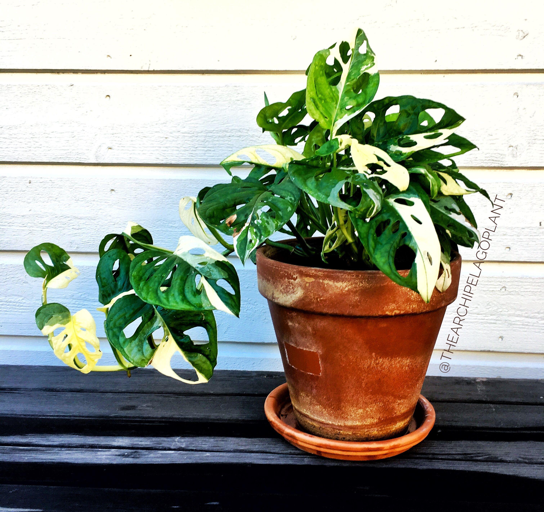 8f384e1552af3dfb5c3792f6085cf168 Variegated Potted Plant House on potted plant succulent, potted plant blue, potted plant beautiful, potted plant small, potted plant color, potted plant flower, potted plant long,
