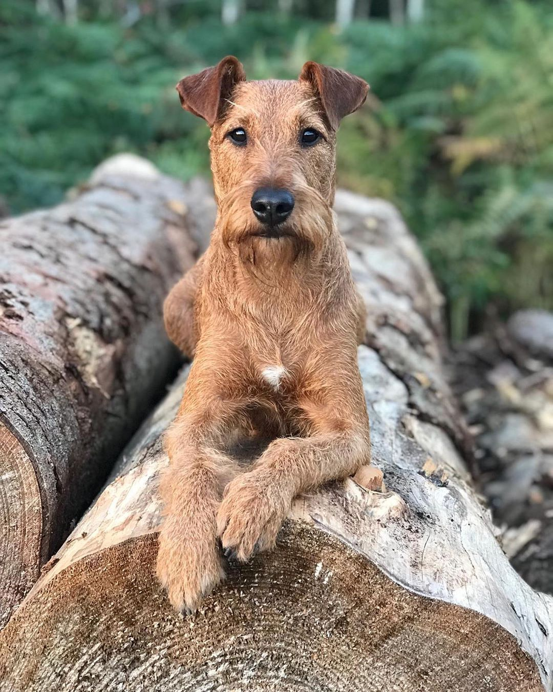 Irish Terrier Image By Barry Campbell On Dog In 2020 Lakeland Terrier Dog Breeds Medium