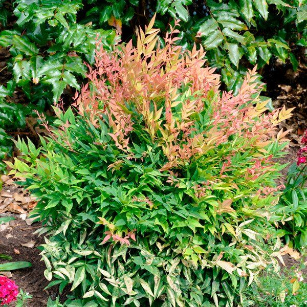 Nandina Gulf Stream Plants Small White Flowers Foundation Planting