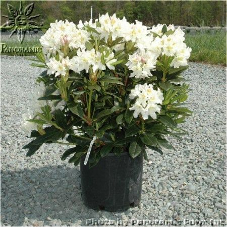 rhododendron catawbiense 39 cunningham 39 s white 39 finishing. Black Bedroom Furniture Sets. Home Design Ideas
