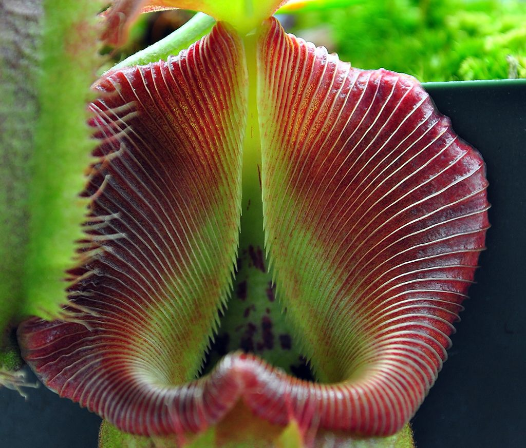Nepenthes robcantleyi 'Queen of Hearts'