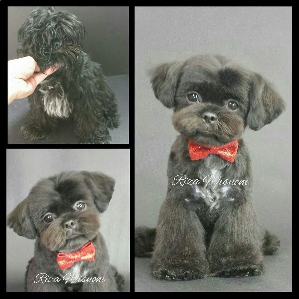 Shih tzu haircut styles click visit site and check out cool shih tzu tshirts this website