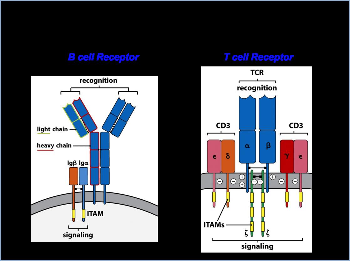 Tcell vs Bcell Antigen receptors Receptor