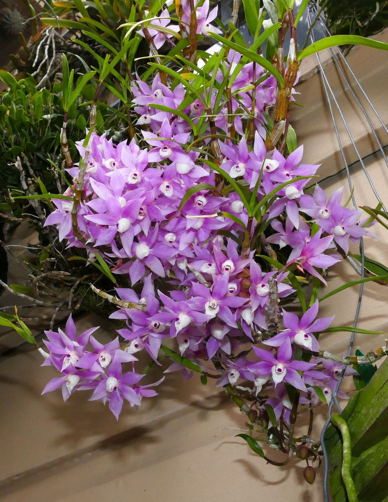 Dendrobium Hercoglossum Species Orchid Unusual Flowers Orchid Flower Beautiful Flowers
