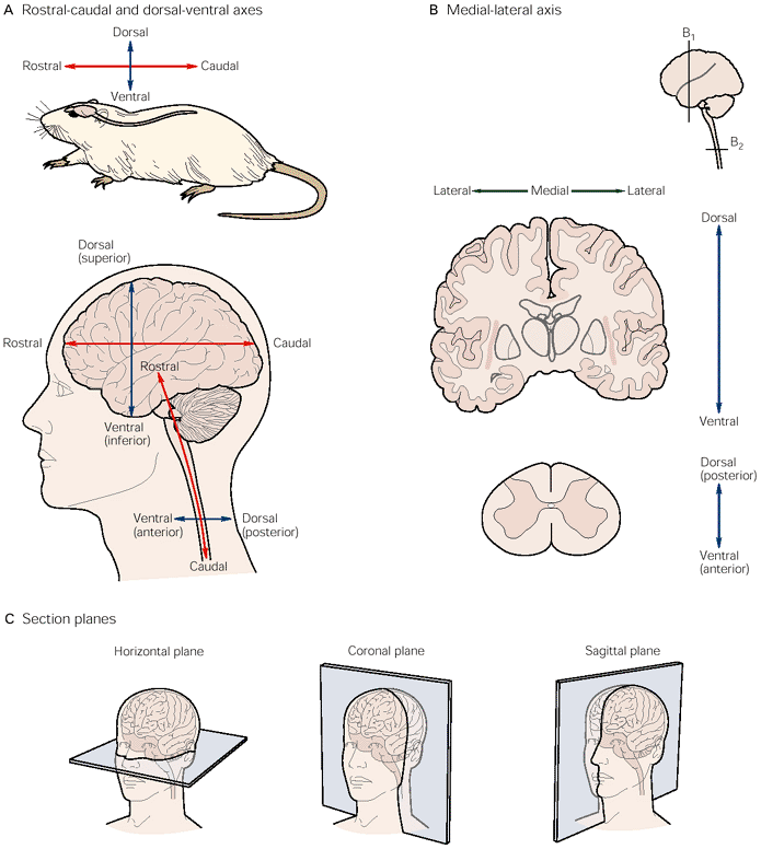 Anatomical Planes And Directions For Brain Brainstem And Spinal