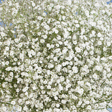 Baby S Breath Fresh Gypsophila Flowers In 2020 Gypsophila Gypsophila Flower Baby S Breath Plant