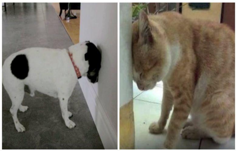 Head Pressing Ist Ein Ernst Zunehmendes Warnsignal Das Jeder Haustierbesitzer Kennen Sollte Vielleicht Dachtest Du Bis Jetzt Dass In 2020 Tierarzt Haustier Tiere