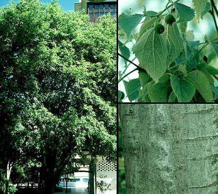 Celtis australis ulmaceae almez arbol de hoja caduca for Arboles de hoja perenne que crece rapido