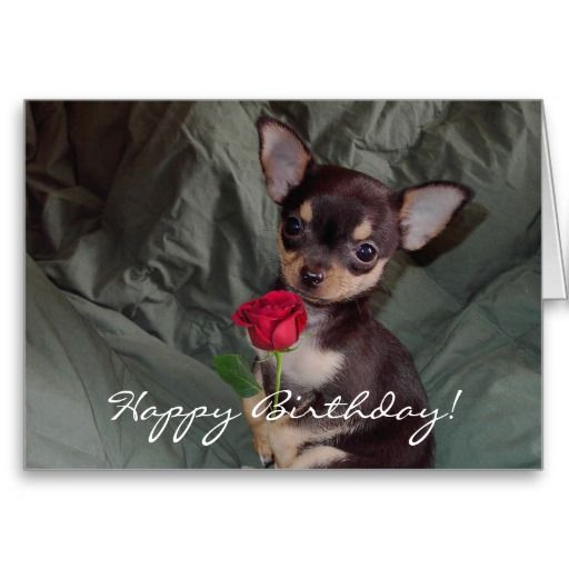 Happy Birthday Chihuahua Puppy Card – Chihuahua Birthday Cards