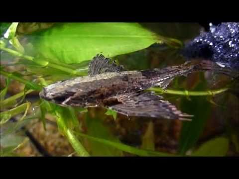 African Butterfly Fish Butterfly Fish Fish African