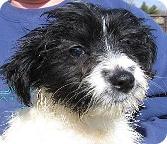 Miniature Poodle Border Collie Mix Border Collie Poodle Mix Border Collie Dog Border Collie Mix