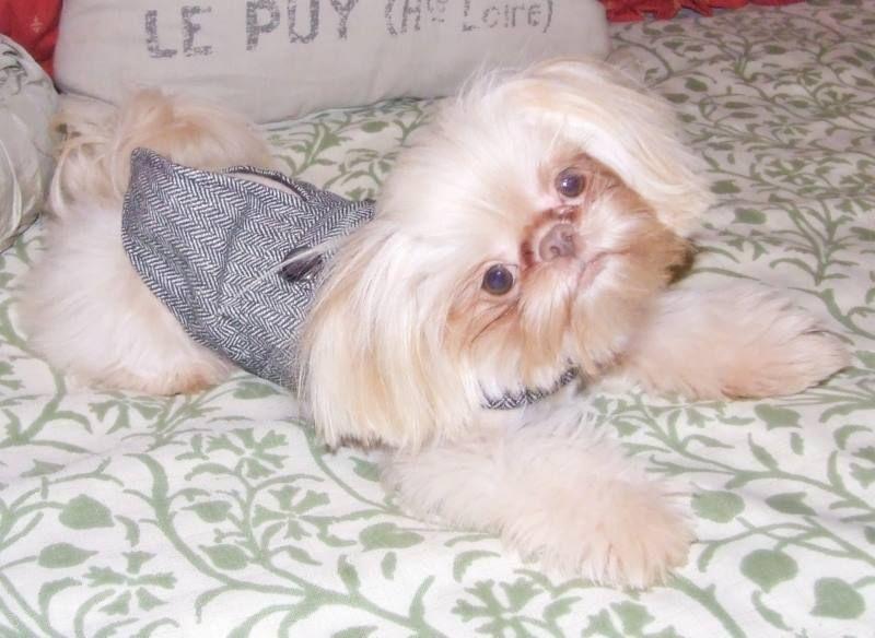 Cream Coated Liver Imperial Shih Tzu Shih Tzu Cute Dogs Shih