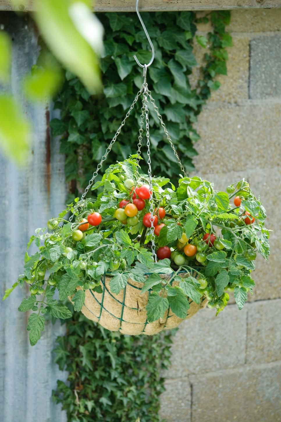 Growing Tomatoes In Containers Growing Vegetables Tomato Garden