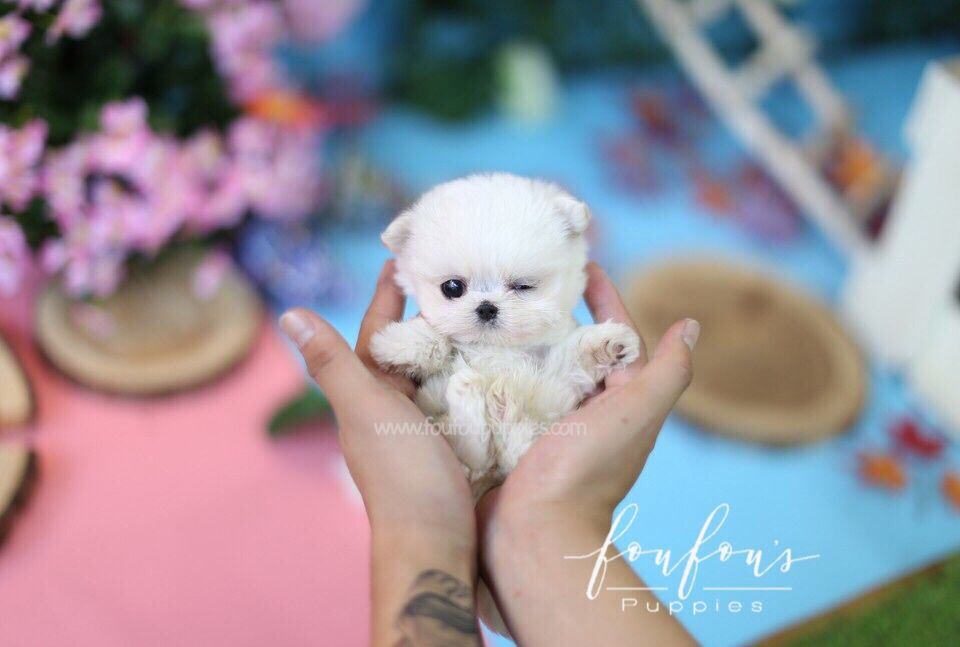 Pin By Foufou S Puppies On Teacup Maltese Micro Teacup Puppies Teacup Puppies For Sale Teacup Puppies