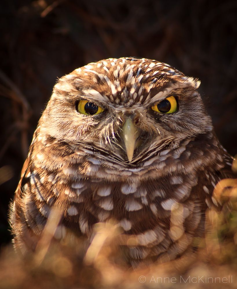 Burrowing Owls of Cape Coral Burrowing owl, Owl, Owl images