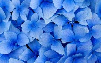 Flores Azuis Com Imagens Flores Azuis Papel De Parede Flor