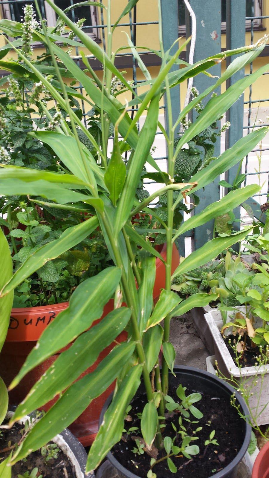 Đumbir u posudi Đumbir (Zingiber officinale), biljka je tropskih dijelova  jugoistočne Azije i spada u porodicu ljiljana. Poz… | Vegetable garden,  Plants, Garden