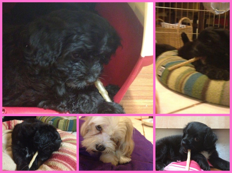 Cavoodle puppies and mum enjoying rawhide chew sticks