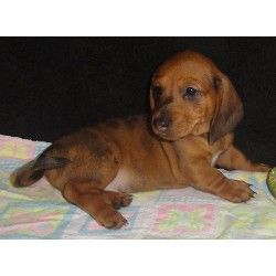 Dachshund Puppies For Sale Dachshund Puppies Doxie Puppies