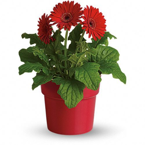 Rainbow Rays Potted Gerbera Red Price Us 29 99 The Word Gerbera Actually Means Cheerfulness And The Red G Plant Gifts Indoor Flowering Plants Red Plants