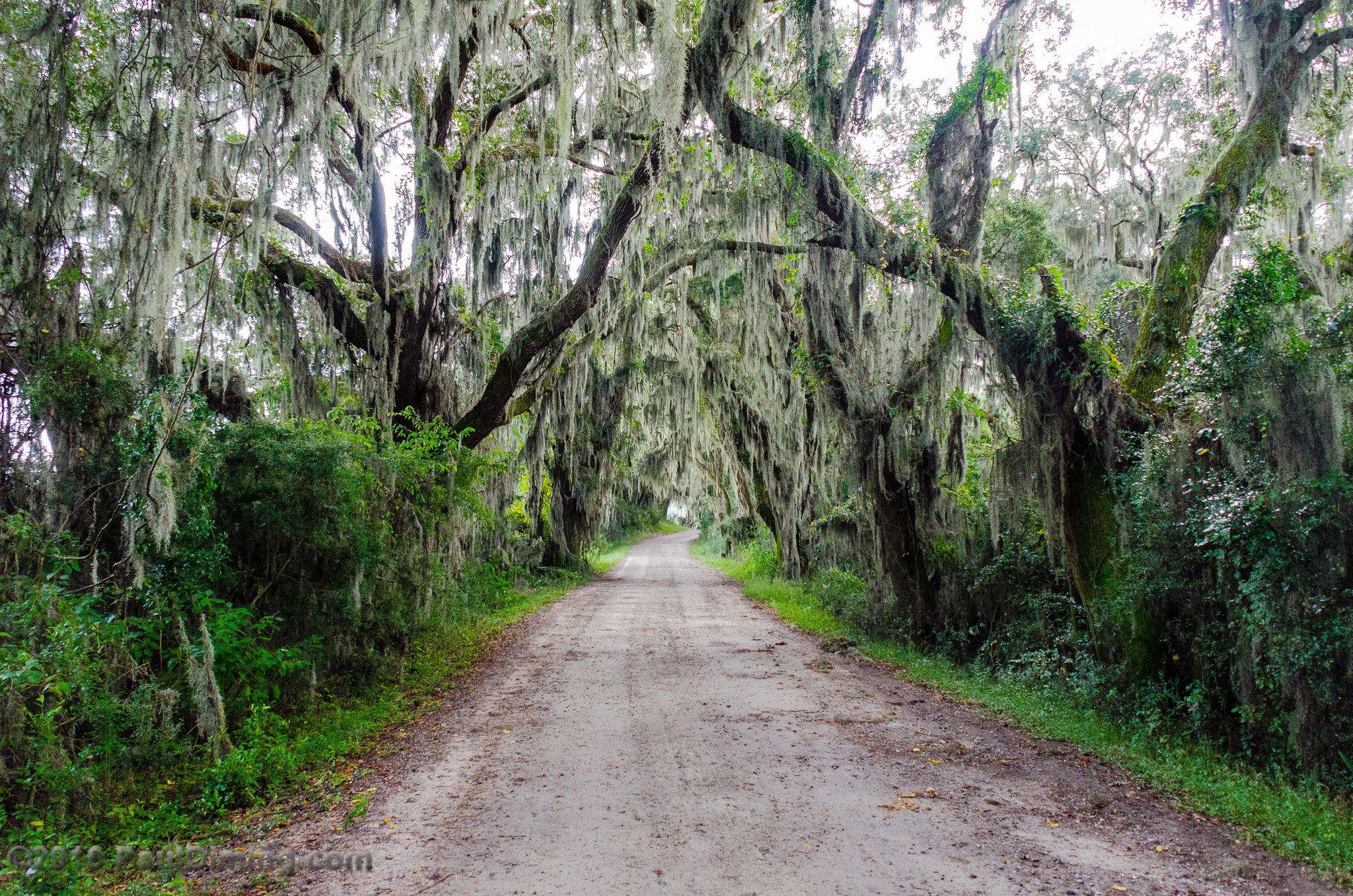 Live Oak Canopy Savannah National Wildlife Refuge Savannah Ga