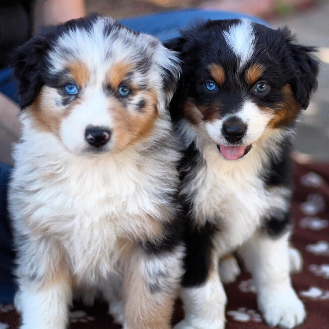 Aussie Puppies Cuteness Aussie Puppies Australian Shepherd