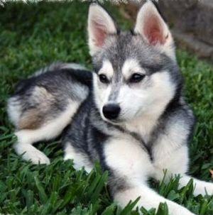 Alaskan Klee Kai A Smaller Version Of The Alaskan Husky Just