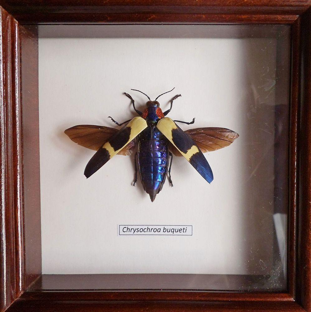Beetle Cyrtotrachelus buqueti in frame