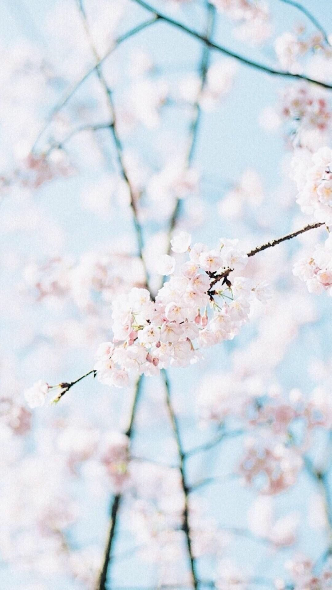 Wallpaper Cherry Tree Pink Light Blue In 2019 Blue