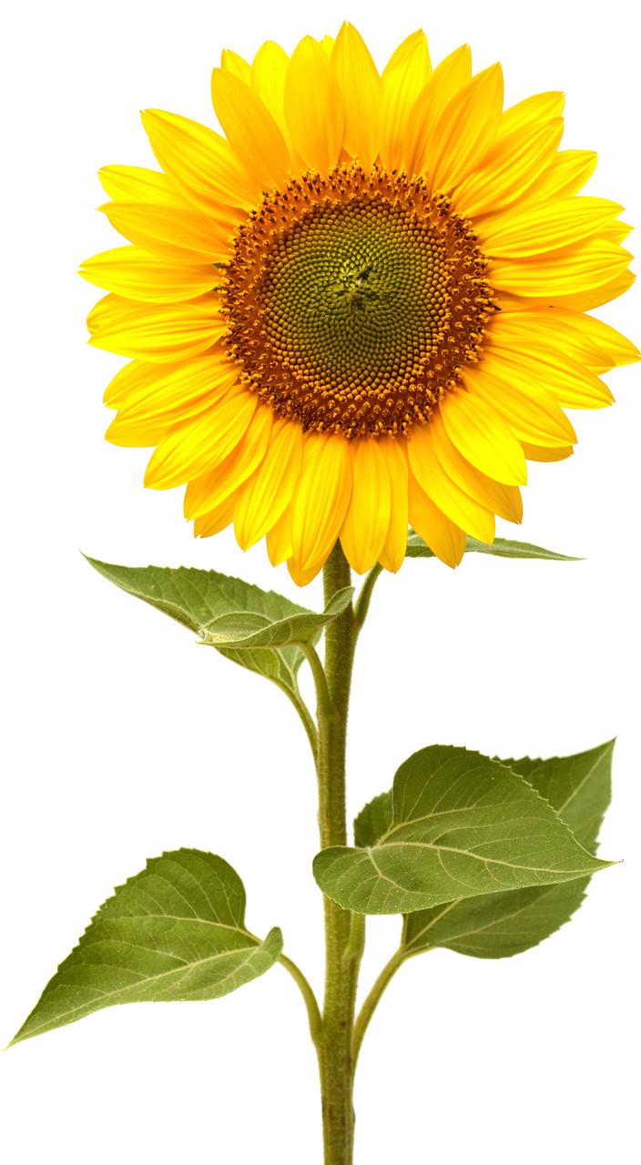 Small Sunflowers Imagenes De Girasoles Fotos Girasoles Girasoles