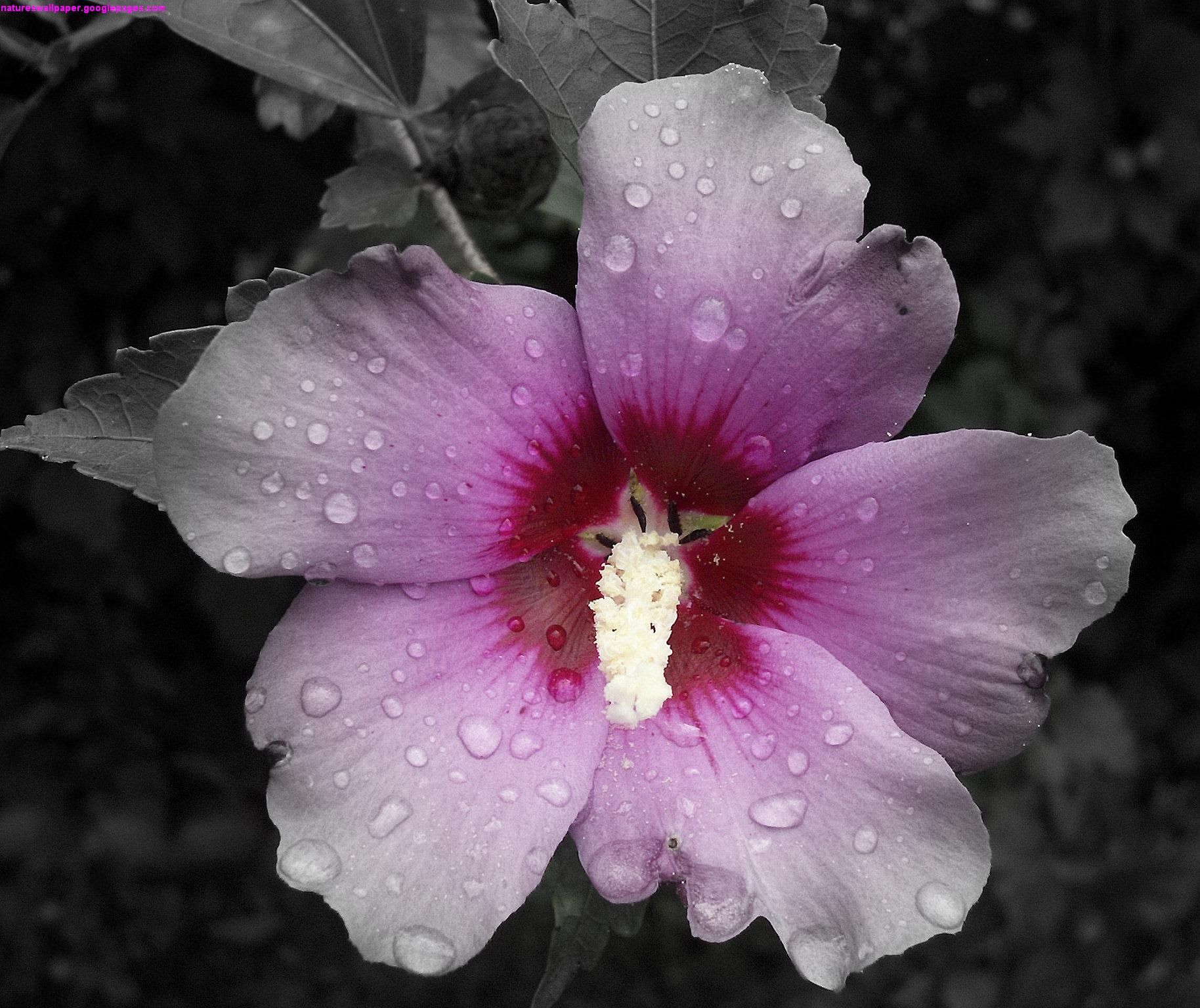 Google themes pink and black - Google Image Result For Http Maludan 3dtoast Com Roseofsharon