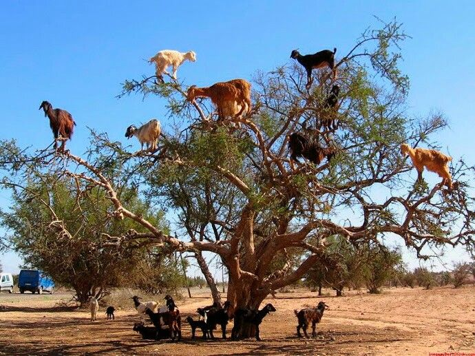 Goats in Morocco climb argan trees to find food.