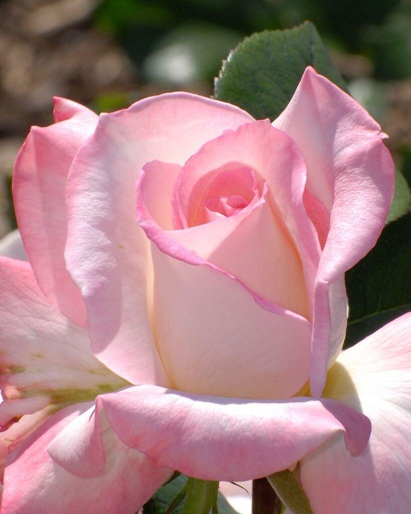 Flower love u pretty pink rose flickr roses pinterest pink