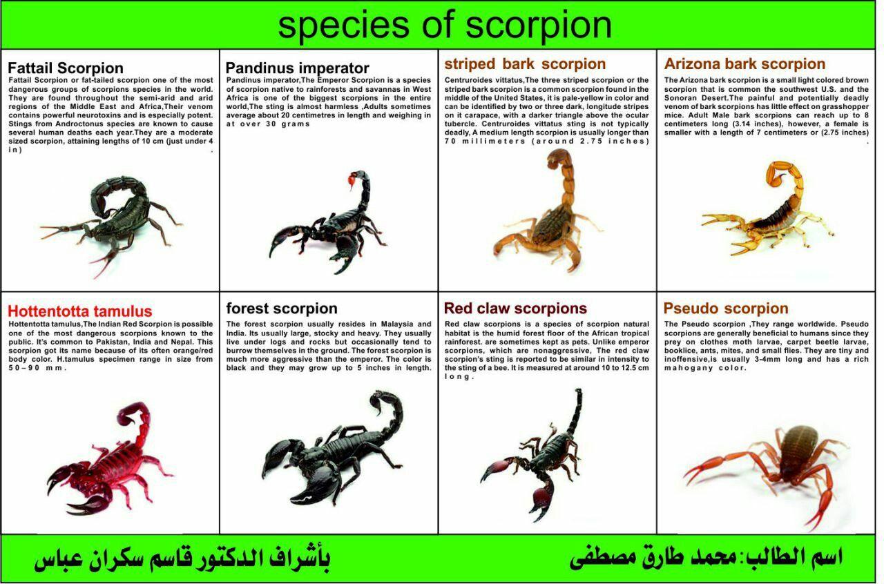 Species of scorpion   Animals   Pinterest   Insectos