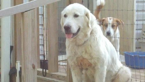 GREAT PRYNESS DOG PHOTO | Dog ready for adoption: Great Pyrenees / Labrador Retriever / Mixed ...