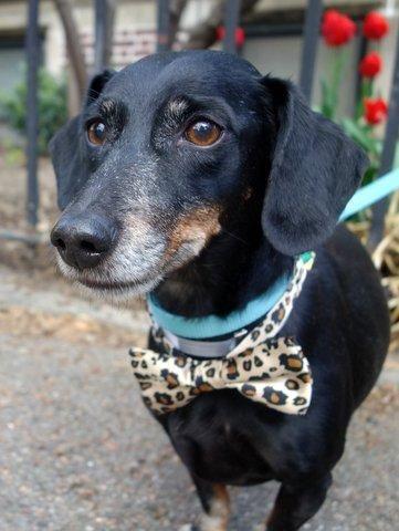 Adopt Max On Adoptable Dachshund Dog Dachshund Dog Puppy Love