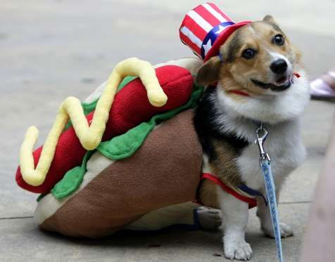 Welsh Corgi Poses For A Snapshot During The Halloween Dog Costume