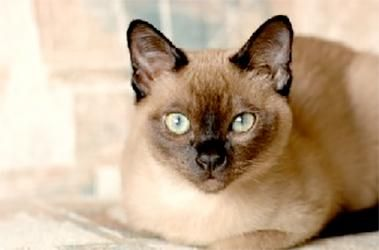 What Breed Of Cat Are You Tonkinese Cat Tonkinese Siamese Cats