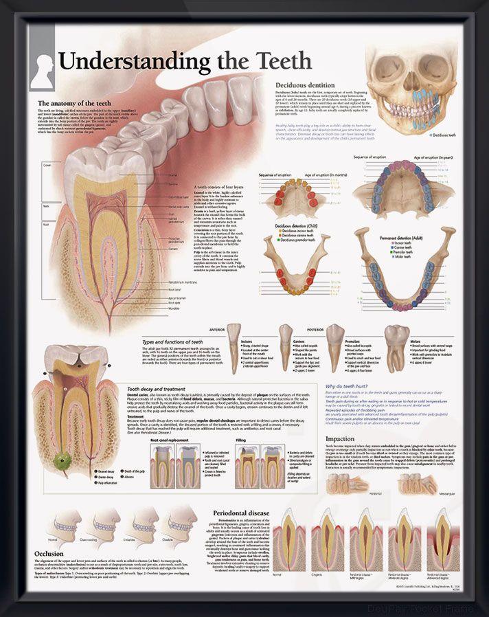Understanding The Teeth Chart 22x28 Doctors Anatomy Posters