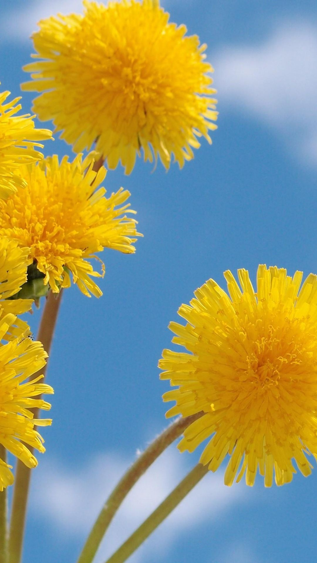 Pin By Doris Matick On Color My World Beautiful Flowers Wallpapers Beautiful Flowers Dandelion
