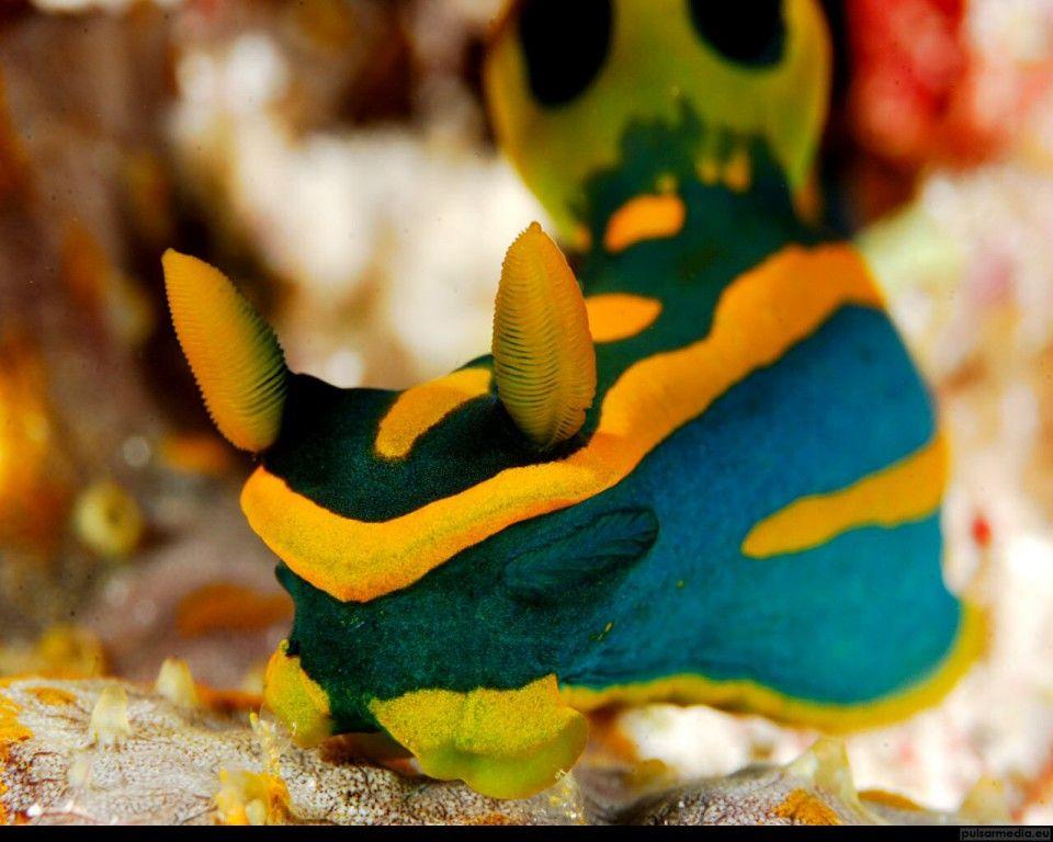Mollusques Fond D Ecran Http Wallpapic Fr Ocean Et Mer Mollusques Wallpaper 11340 Limace De Mer Fond Ecran Vie Sous Marine