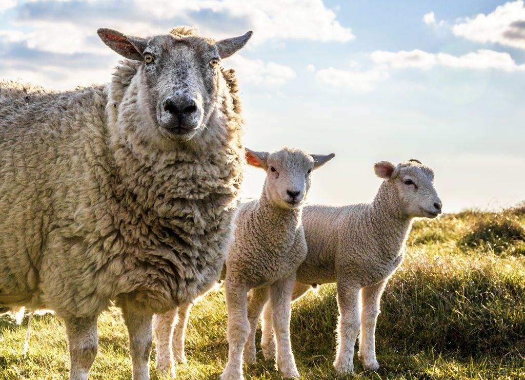 Gloomy Sheep jigsaw puzzle in Animals puzzles on