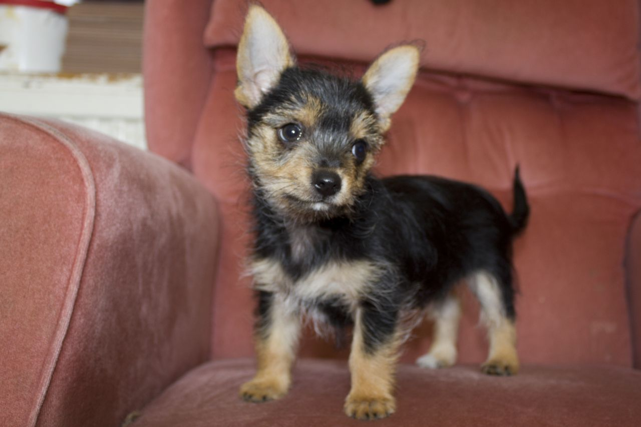 Fully Vaccinated And Micro Chipped Chorkie Puppy Yorkie