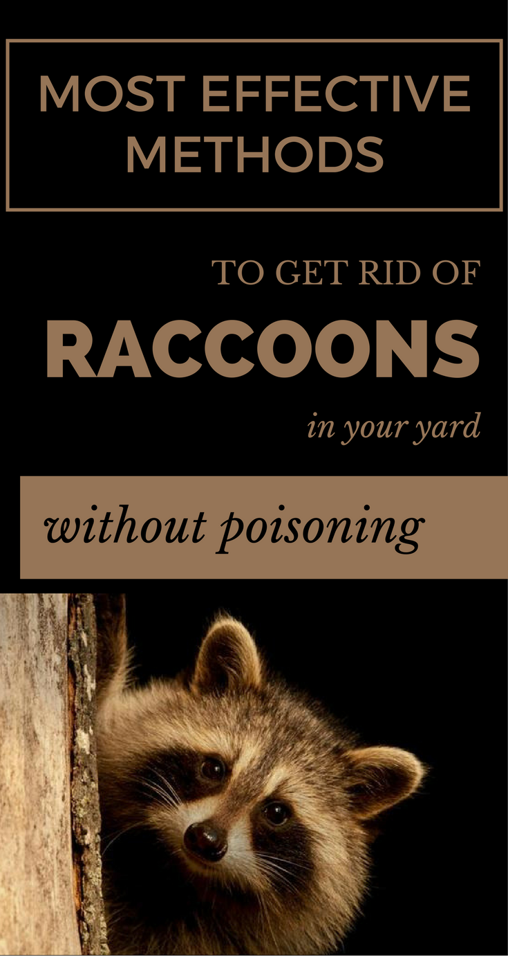 Most Effective Methods to Get Rid of Raccoons in Your Yard ...