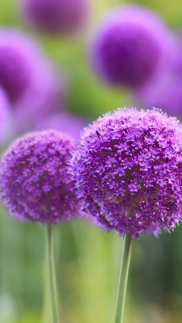 60 Mobile Wallpapers In Hd For Free Download Purple Flowers Wallpaper Wallpaper Nature Flowers Flower Iphone Wallpaper